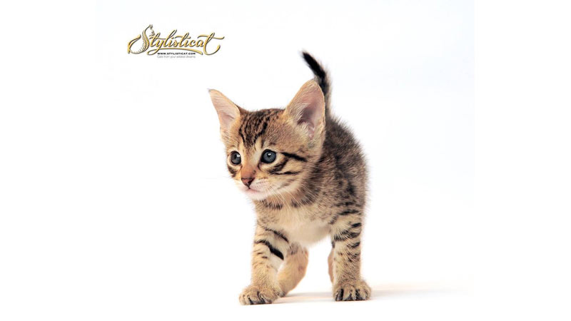 Wild, Hybrid|Domestic Trained Cats for film, television commercials